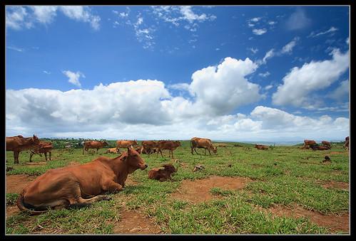 cow wideangle vietnam pasture ww uww efs1022 pastureland nohdr 450d nonaceos