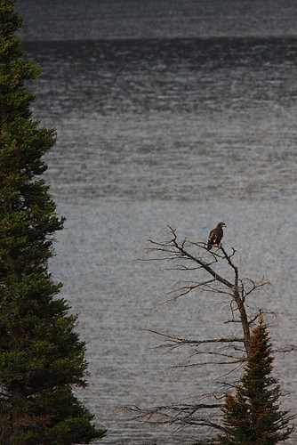 St Mary's Lake -- Golden Eagle or Hawk(?)