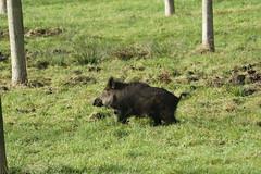 animal, wild boar, pig, fauna, pig-like mammal, pasture, wildlife,