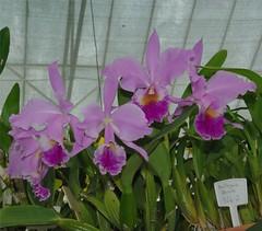 cattleya labiata(1.0), flower(1.0), plant(1.0), laelia(1.0), flora(1.0), cattleya trianae(1.0),
