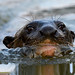 Giant River Otter (Helen Pinchin)