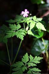trailside flowers    MG 4274