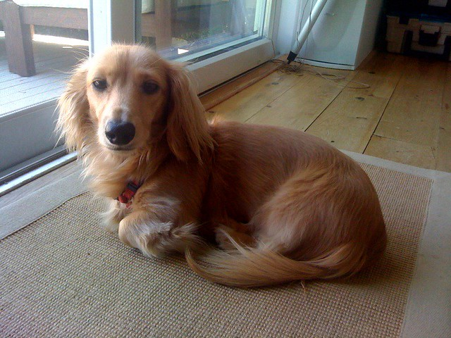 The long haired english cream mini dachshund flickr photo sharing