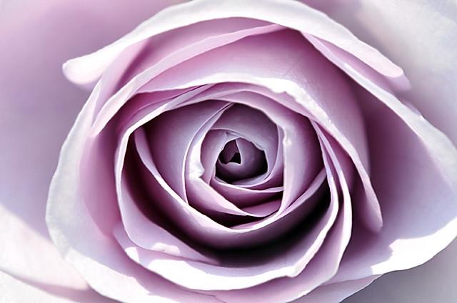 Rose 'Blue Bajou' raised in Germany