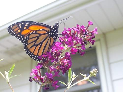this is mr. butterfly..he is always smelling the flowers