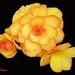 Apricot Begonias by EdwinaFran