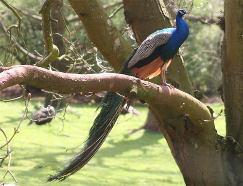 Peacock, Paignton Zoo, Devon by Claire Stocker (Stocker Images)