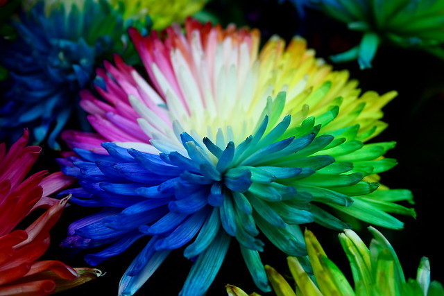 Real multi coloured flower flickr photo sharing for How to make multi colored flowers