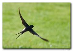 animal, wing, fauna, swallow, bird,