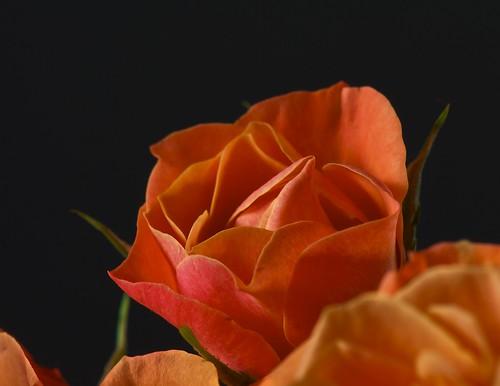 canada flower macro nature rose flora nikon quebec d200 naturesfinest flowerotica fantasticflower mywinners michaelandrassi mikeya mmmikey2007 105mmf28microvr theperfectphotographer vosplusbellesphotos