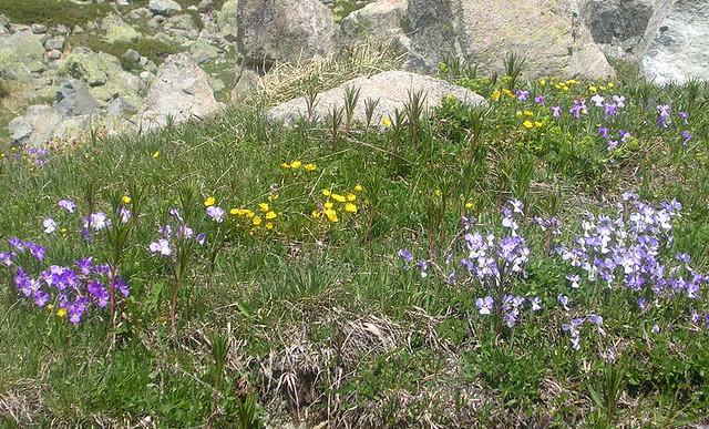 Julier Pass - Alpine Flowers