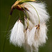Eriophorum - Photo (c) Amadej Trnkoczy, some rights reserved (CC BY-NC-SA)