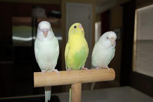 parrot training, training parakeets, parakeet info, parakeet facts, budgie info, budgie facts