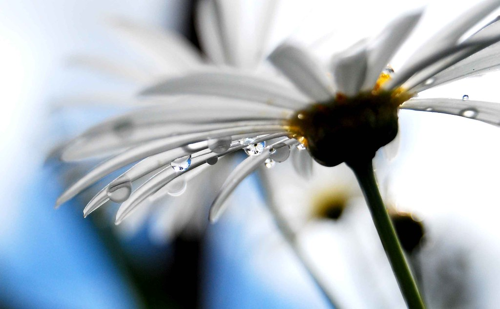 Do you see the daisy in the drop??