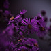 purpledayz by hardyc