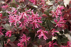 Purple Majesty Fringe Flower Shrub Loropetalum Purple Flickr