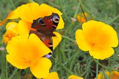 Papillon - Photo of Magnicourt-sur-Canche