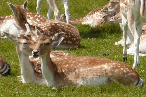 Dyrham Park - fallow deer