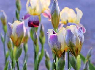 Twilight Irises