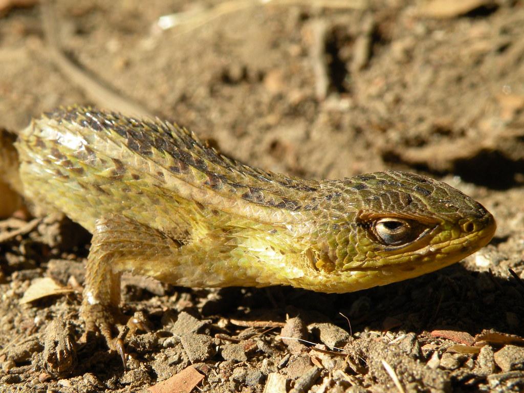 Liolaemus chilensis - lagarto chileno