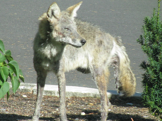 Coyote In My Yard   Flickr - Photo Sharing!