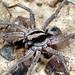 New genus (palabunda group)