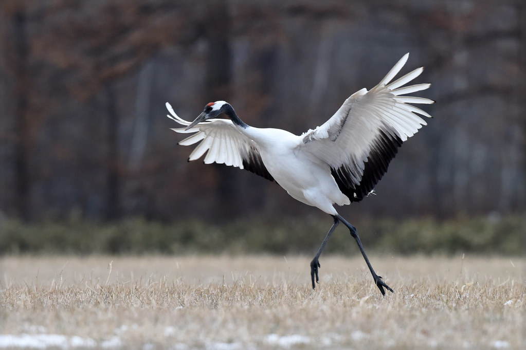 A red-crowned crane: a principal dancer ?
