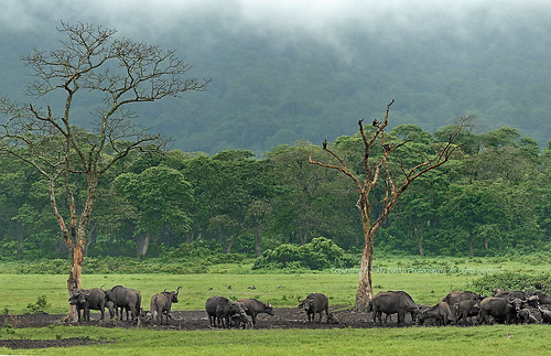 africa nature tanzania nationalpark nikon wildlife biosphere environment herd buffalos arusha biodiversity d300 zedith africanhighlands afvr80400mm14556ed littleserengeti