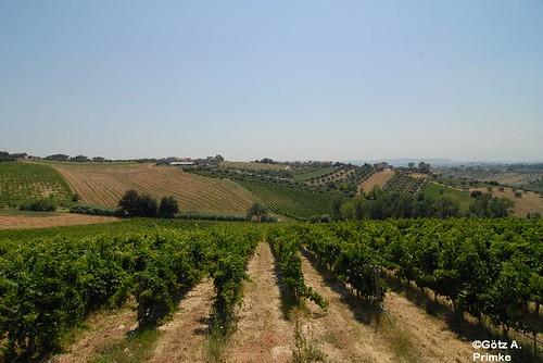 Weingut_Masciarelli_Juli2009_143