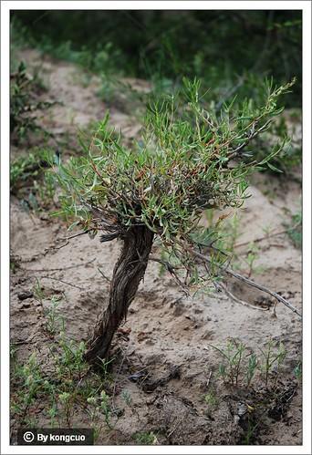 内蒙古植物照片-沙地植物