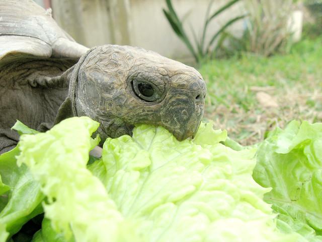 tortugas de tierra comiendo lechuga