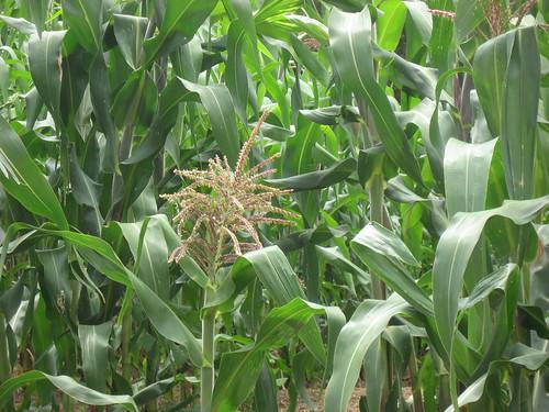 Chamula Maize