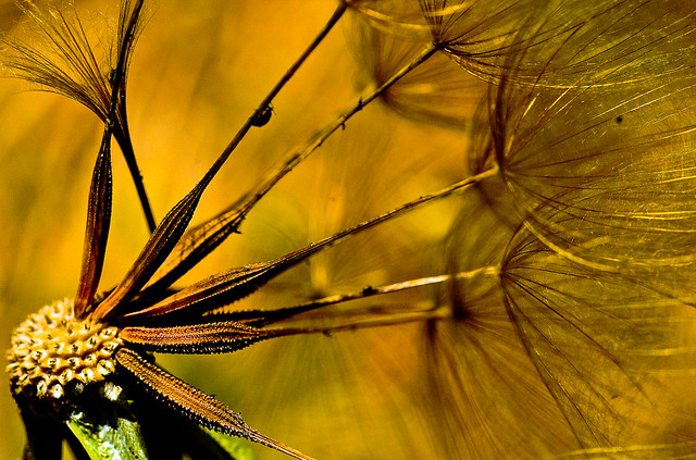 Taraxacum : Dandelion parachute ball