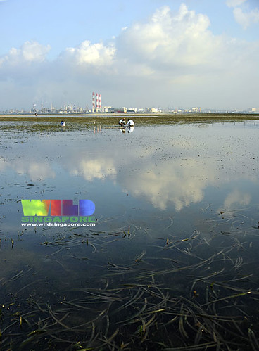 Pool of seagrasses on Cyrene facing Jurong Island