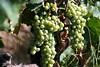 vigne, véraison (Châteauneuf-du-Pape,FR84)