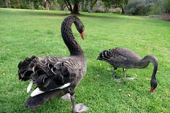 animal, black swan, water bird, swan, goose, fauna, fowl, beak, bird, wildlife,