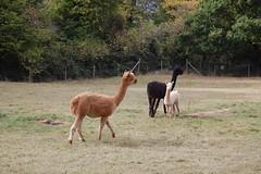 grazing(0.0), wildlife(0.0), alpaca(1.0), animal(1.0), prairie(1.0), mammal(1.0), llama(1.0), fauna(1.0), vicuã±a(1.0), guanaco(1.0), pasture(1.0),