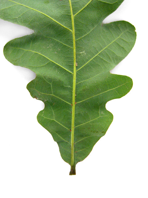 Oak tree identification related keywords