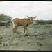 Small photo of Young mammal, possibly Bovidae Oryx