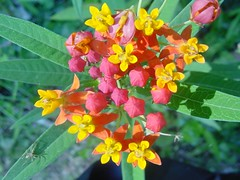 evergreen(0.0), shrub(0.0), produce(0.0), tropical milkweed(1.0), flower(1.0), plant(1.0), herb(1.0), wildflower(1.0), flora(1.0), lantana camara(1.0),