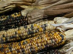food grain, vegetarian food, maize, corn on the cob, produce, food, cuisine,