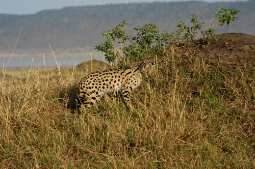 Serval cut foraging.