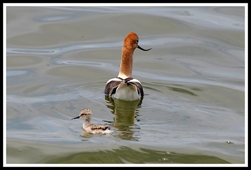 Avocet with Baby