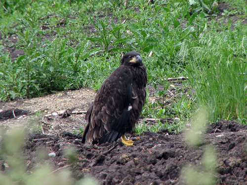 Eaglet On Ground