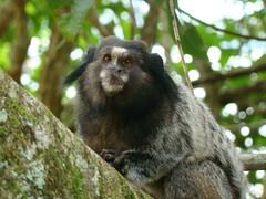 monkey(0.0), tufted capuchin(0.0), capuchin monkey(0.0), white-headed capuchin(0.0), macaque(0.0), animal(1.0), primate(1.0), fauna(1.0), marmoset(1.0), wildlife(1.0),