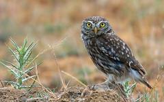 Kukumav / Little Owl / Athena noctua