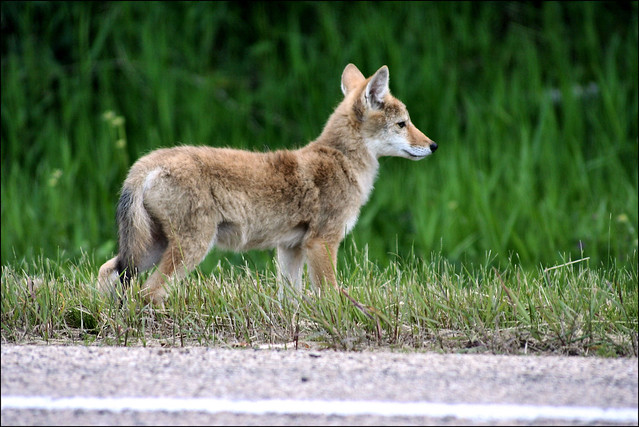 Baby Coyote #2 | I just wanted to post another shot of ...