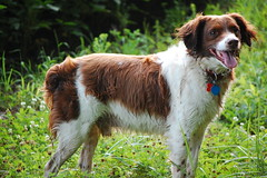 dog breed, animal, kooikerhondje, dog, welsh springer spaniel, pet, stabyhoun, mammal, small mã¼nsterlã¤nder, drentse patrijshond, spaniel, french spaniel, english springer spaniel,