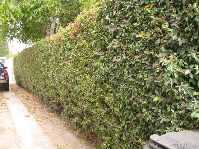 Flickriver photoset 39 australian bush brush cherry for Pianta eugenia