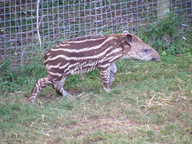 Juvenile Brazilian tapir